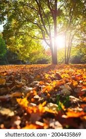 Golden autumn fall October in famous Munich relax place - Englischer Garten. English garden with fallen leaves and golden sunlight. Munchen, Bavaria, Germany - Shutterstock ID 2004435869