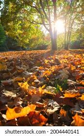 Golden autumn fall October in famous Munich relax place - Englischer Garten. English garden with fallen leaves and golden sunlight. Munchen, Bavaria, Germany - Shutterstock ID 2004440141