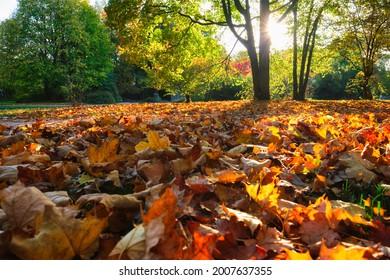 Golden autumn fall October in famous Munich relax place - Englischer Garten. English garden with fallen leaves and golden sunlight. Munchen, Bavaria, Germany - Shutterstock ID 2007637355