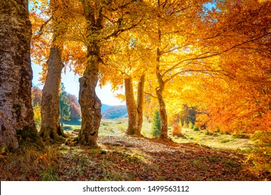 Golden Autumn in a forest - colorful leaves and big trees, warm sunny day