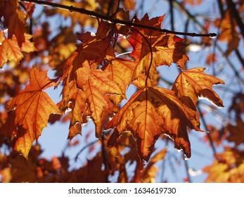 Golden Autumn leaves against blue sky background