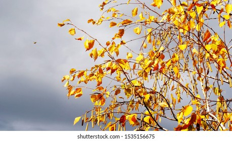 Golden autumn leaves and catkins on birch tree against a dark cloudy sky