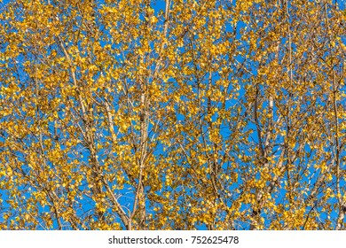 Golden autumn leaves with clear blue sky showing between leaves and branches. Photographed in Seattle, WA.