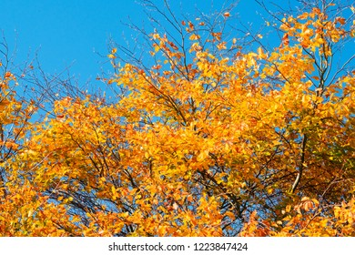 Golden autumn leaves on a tree in the fall under a blue sky in October