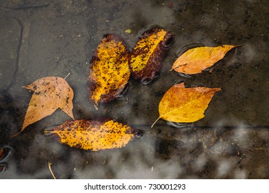 Golden autumn leaves in a puddle with tree reflection