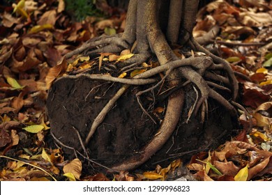 Golden autumn scene in a forest, big roots above the ground