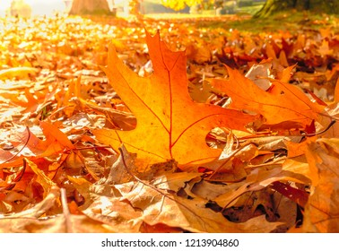 Golden autumn sycamore leaf illuminated by a low bright autumnal sun from behind, amongst other red and brown fall leaves on the ground.