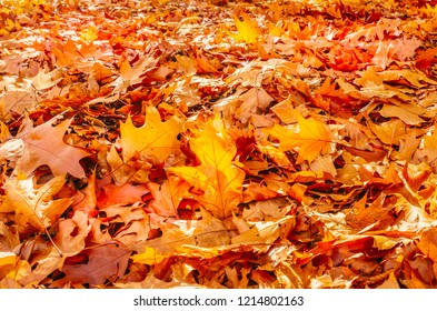 Golden autumn sycamore leaves illuminated by a low bright autumnal sun from behind, amongst other red and brown fall leaves on the ground.