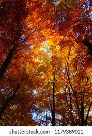 golden autumn tree tops