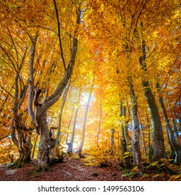 Golden Autumn in wild forest - vibrant leaves on trees, sunny weather and nobody, real fall nature landscape