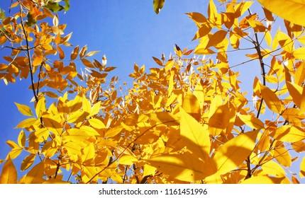 Golden autumn yellow leaves