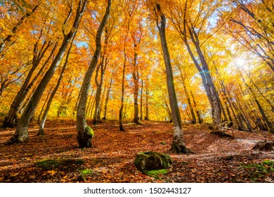 Golden Autumnal forest background with sun - autumnal landscape with bright yellow leaves and trees in wild forest