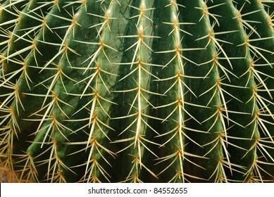 Golden ball cactus / Echinocactus grusonii close up