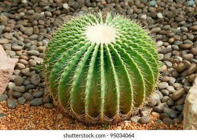 The Golden ball cactus( Echinocactus grusonii)