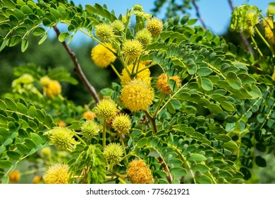Golden ball lead-tree (also known as Goldenball leadtree, Littleleaf leadtree, Little leucaena, Lemonball, and Wahoo tree)