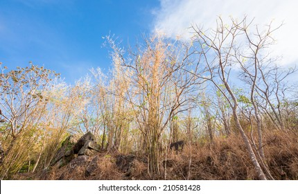Golden bamboo in summer