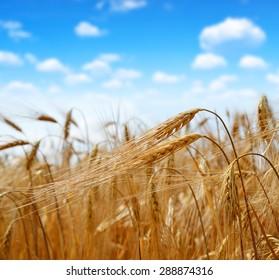 golden barley with blue sky