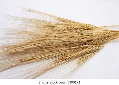 Golden barley ears isolated on white background