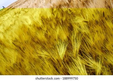 Golden barley field ripe for harvest.