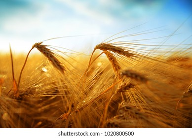 Golden barley field at sunset.Rural scene with ripening ears under sunlight. Agricultural crop.
