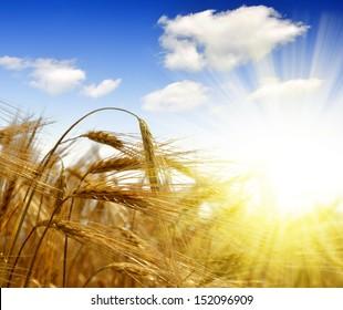 golden barley with sunny sky