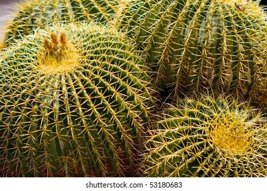 Golden Barrel Cactus, Golden Ball or, amusingly, Mother-in-Law's Cushion (Echinocactus grusonii) is a well known species of cactus native to central Mexico.