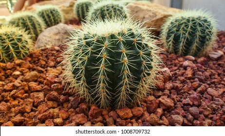 Golden Barrel Cactus, Echinocactus Grusonii Plant.