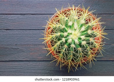 Golden barrel cactus  ( Echinocactus Grusonii ) in flower pot . Rustic background, flat lay, free space for text