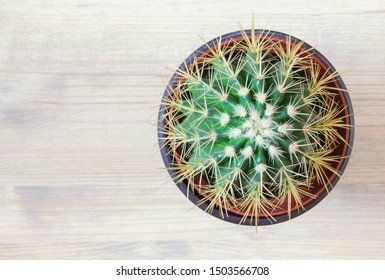 Golden barrel cactus  ( Echinocactus Grusonii ) in flower pot on white rustic background. Flat lay, free space for text