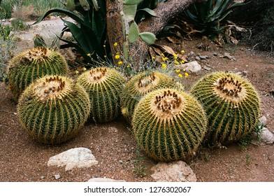 Golden Barrel Cactus Sonora desert and San Tan Mountains in central Arizona USA