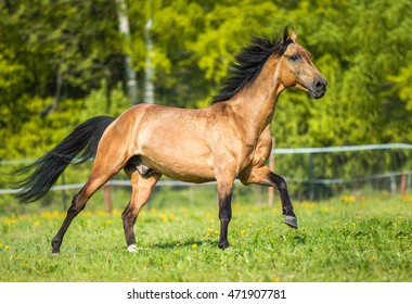 Golden bay Akhal-teke horse runs gallop on the meadow