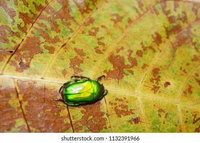 Golden beetle on colorful leaf