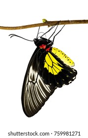 A golden birdwing butterfly from the Philippines, Triodes rhadamanthus, hanging on a tree branch, isolated on white background. Birdwings are big, bright and poisonous swallowtail butterflies.