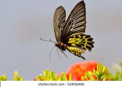 Golden birdwing flying, Butterfly isolated, Golden birdwing.