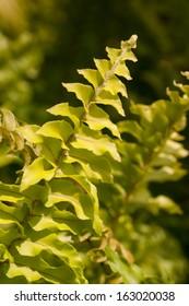 Golden Boston Fern or Nephrolepsis exaltata close up in the sunshine.