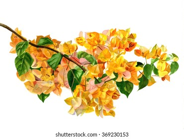 Golden Bougainvillea. Watercolor painting, illustration, of yellow, yellow orange and orange bougainvillea on a branch with leaves