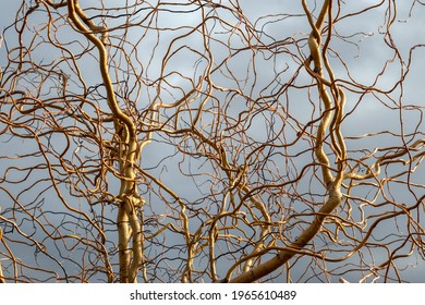 Golden branches of corkscrew-willow in spring. Topic: everything is complicated)). Salix matsudana, Curly Willow, Pekin Willow, Hankow Willow, Twisted-Twig Willow, Corylus avellana, Contorta.