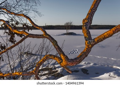 Golden branches at the lake in winter