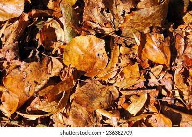 Golden brown autumn leaves, UK.