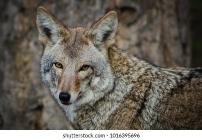 Golden brown eyes of a coyote,