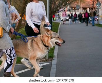 Golden brown German Shepherd waits on leash between two stylish women talking on the sidewalk in Cluj-Napoca, Romania, March 23, 2019