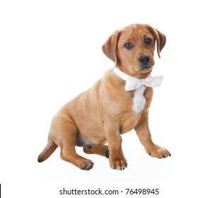 Golden brown Labrador Retriever puppy in a handsome white bow tie.  Drop shadow.