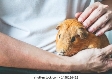 Golden brown short-hair Guinea Pig is pet gently with love in male human's hands and arms. Human and pet relationship background.