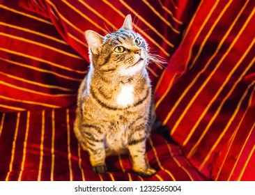 Golden brown striped pet tabby cat sitting on and surrounded by a red velvet striped cushion with gold and dark red striped. He is looking upwards and away from the camera at something