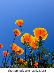 The golden California poppy with blue clear sky in background. This is the state flower of California, US.