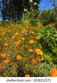 Golden California Poppy is a native flower, closeup