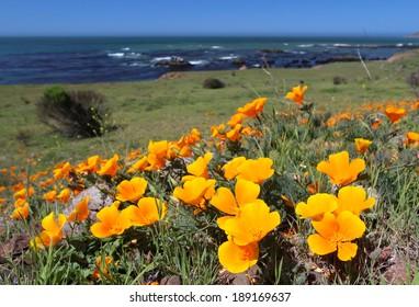 Golden California state poppy flower