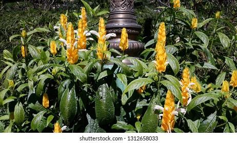 Golden candle, Golden shrimp plant or Lollypops