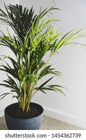 golden cane palm tree in indoor setting with white background and natural sunlight shining through its leaves