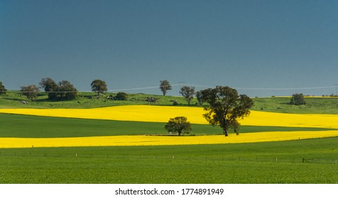 Golden canola surrounded by lush green pasture in central west New South Wales